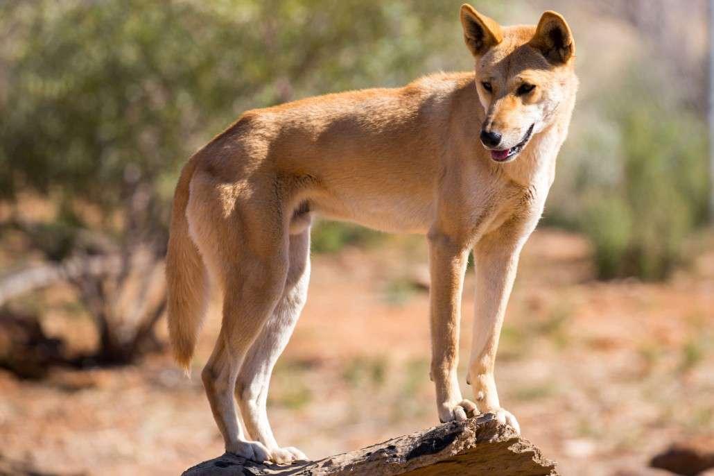 Dog Breeds Similar To Dingoes