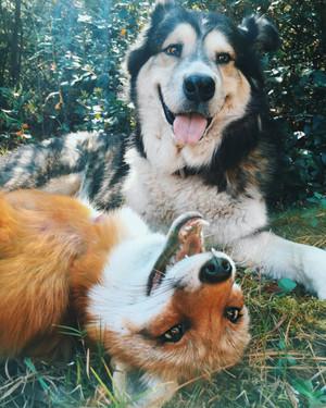 Dog and fox
