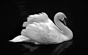 Mute 白鳥, スワン