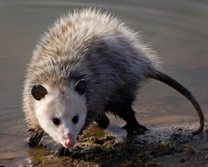 Opossum at the riverside