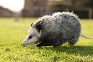 Opossum on a meadow