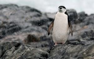 پینگوئن, پیںگان