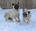 Pug Snow Plows - animal-humor photo