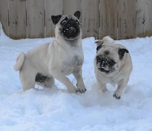 Pug Snow Plows