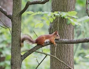 गिलहरी