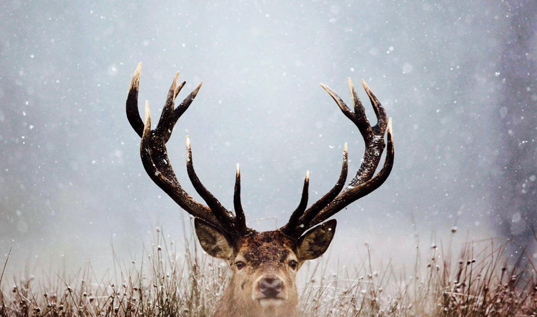 ciervo, despedidas de soltero