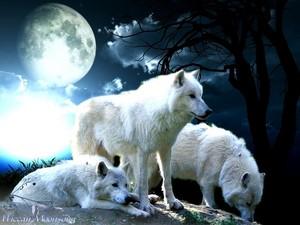 White loups