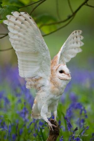 bangsal Owl