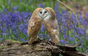 сарай Owls