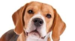 Beagle - dogs icon