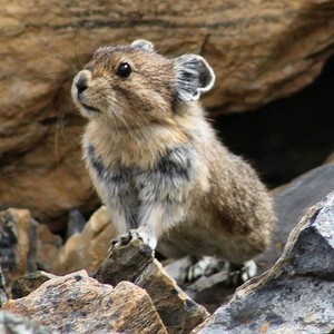 Beautiful Pika