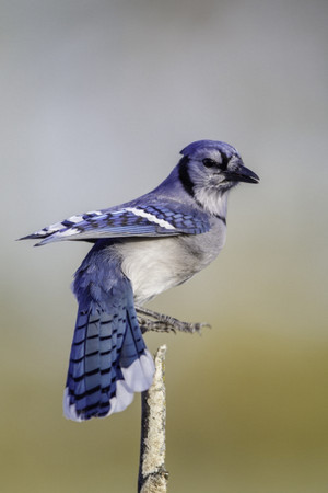 Blue chim giẻ cùi, jay