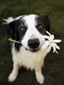 Border Collie - dogs photo