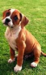 Boxer - dogs icon