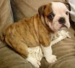 Bulldog - dogs icon