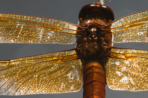 Closeup of Dragonfly
