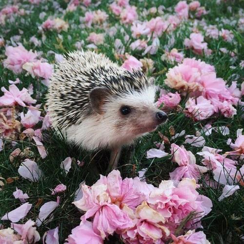 cute hedgehog wallpaper wwwpixsharkcom images