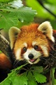 Cute Red Panda - red-pandas photo