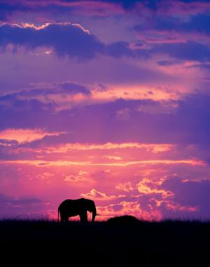elefante at Dusk
