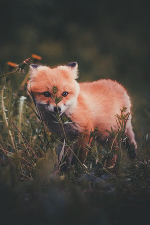 Fluffy Red fox