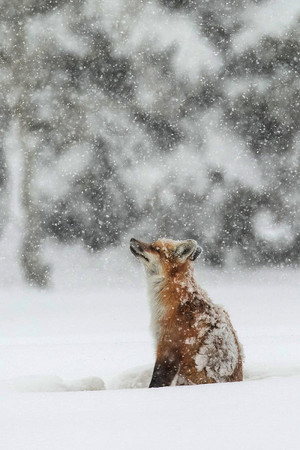 vos, fox in the Snow