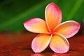 Frangipani flor