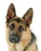 German Shepherd - dogs icon