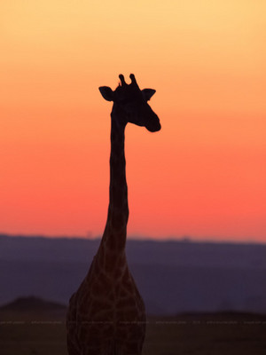 Giraffe in the Sunset
