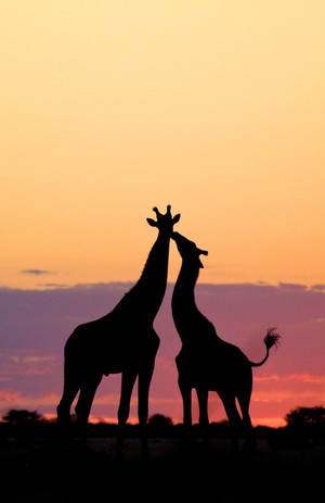 Giraffes in the Sunset