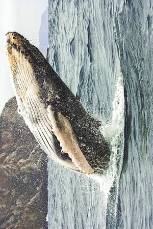 Humpback baleine