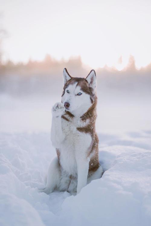 Siberian Huskies Images Husky Hd Wallpaper And Background Photos