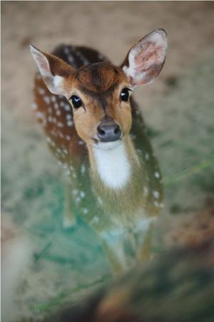 Innocent Deer