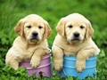 Labrador Retriever  Puppies  - puppies wallpaper
