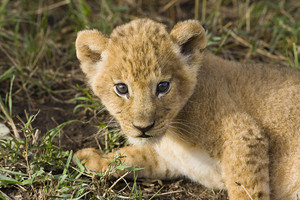 ライオンカブ, ライオンの子