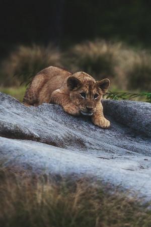 शेर का बच्चा, शेर शावक