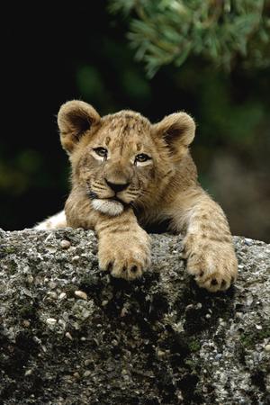 sư tử cub, lion cub