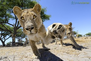 Lions Checking Out a Camera