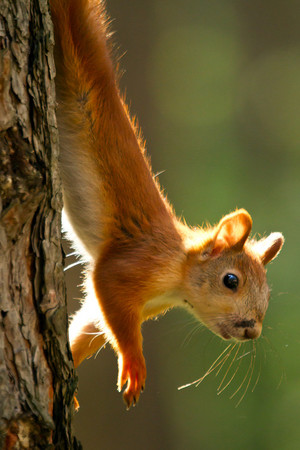 Long Squirrel