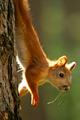Long Squirrel