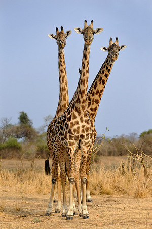 Look behind you, a three-headed giraffe!
