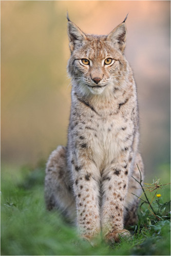 Lynx cat wolpeyper entitled Lynx