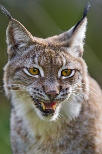 Lynx cat Обои called Lynx