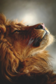 Majestic Lion - lions photo