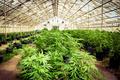 Marijuana Farm 02 - marijuana photo