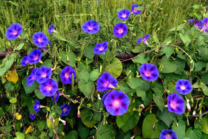 Morning Glory fleurs