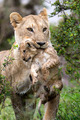 Mother and Child - lions photo