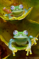 Pair of Frogs - frogs photo
