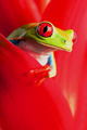 Peeking - frogs photo