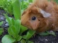 Peeta Eating Lettuce - guinea-pigs photo