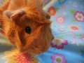Peeta Posing - guinea-pigs photo